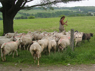 Grass-Fed Sheep Farming Basics