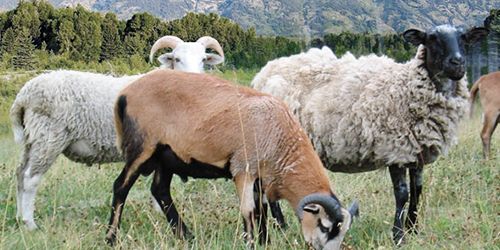 Small Ruminants for Beginners Class (Goats and Sheep)