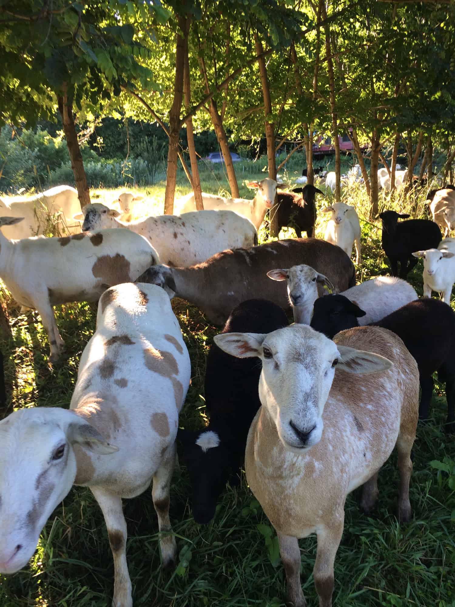 Sheep in locust